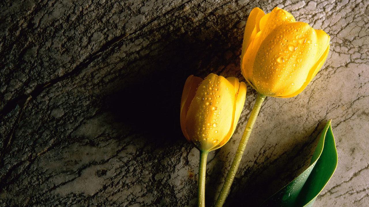 tulips-seminar
